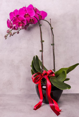 Purple Orchid Potted Plant